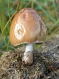 Panaeolus semiovatus image