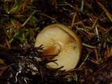 Gymnopilus rufobrunneus image