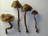 Psilocybe baeocystis image