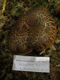 Armillaria badicephala image