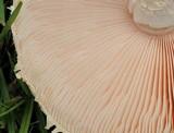 Amanita manicata image