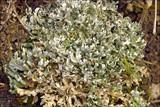 Cladonia foliacea image