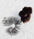 Panaeolus reticulatus image
