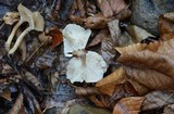 Clitocybe candicans image