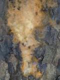 Fusicolla merismoides image