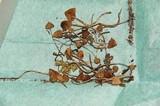 Psilocybe silvatica image