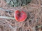 Russula silvestris image