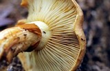Gymnopilus imperialis image