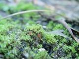 Lamprospora carbonicola image