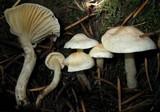 Hygrophorus pusillus image