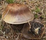 Cortinarius collinitus image