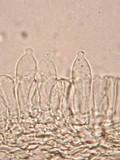 Psilocybe pseudoaztecorum image