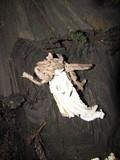 Helvella maculata image