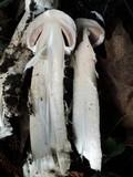 Agaricus sequoiae image