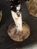 Lactarius californiensis image