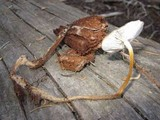 Strobilurus albipilatus image