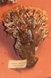 Ramaria formosa image