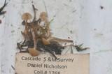 Galerina clavata image