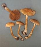 Cortinarius infractus image