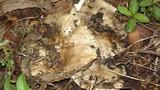 Russula sororia image