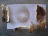Agaricus semotus image