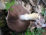 Agaricus kerriganii image