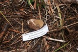 Rhizopogon subsalmonius image