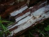 Resinicium bicolor image