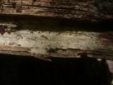 Botryobasidium pruinatum image