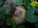 Coprinellus domesticus image
