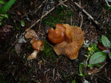 Cortinarius armeniacus image