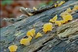Guepiniopsis buccina image