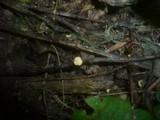 Hymenoscyphus pseudoalbidus image