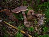 Cortinarius brunneus image