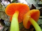 Humidicutis marginata var. marginata image