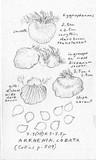 Arrhenia acerosa image