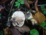 Lactarius acerrimus image