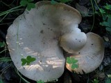 Melanoleuca brevipes image