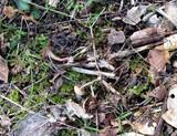 Omphalina pyxidata image