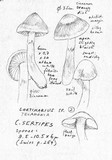 Image of Cortinarius impennoides