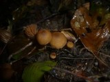Naucoria scolecina image