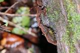 Xylobolus subpileatus image
