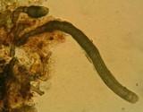 Helminthosporium velutinum image