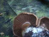 Cortinarius bivelus image