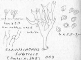 Ramariopsis subtilis image