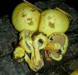 Pholiota limonella image