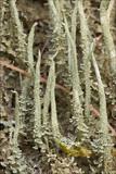 Image of Cladonia glauca