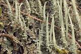 Cladonia glauca image