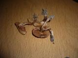 Cortinarius helvolus image