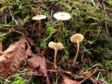 Image of Clitocybe georgina